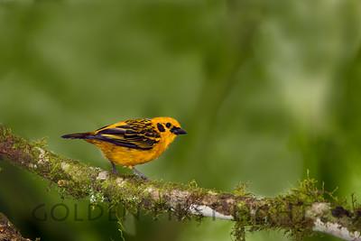 Golden Tanager, Ecuador