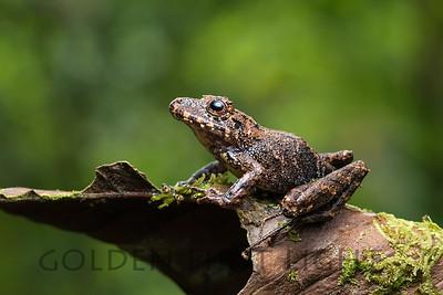 Spring Rain Frog, Ecuador