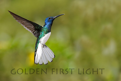 White-necked Jacobin, Tobago