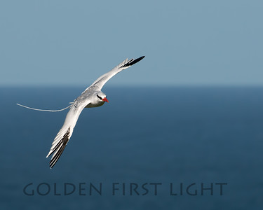 Red-billed Tropicbird, Little Tobago