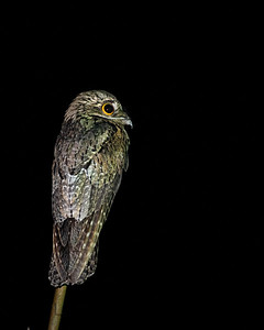 Common Potoo, Tobago