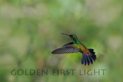 Copper-rumped Hummingbird, Tobago