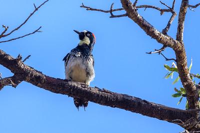 Acorn Woodpecker - Davis Mountains