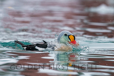 King Eider, Batsfjord Norway
