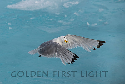 Black-legged Kittiwake, Svalbard