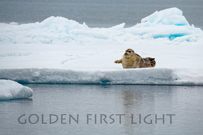 Bearded Seal, Svalbard