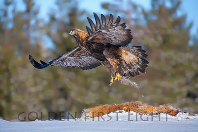 Golden Eagle, Oulu Finland