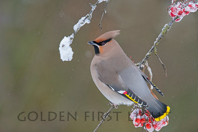 Bohemian Waxwing, Ivalo Finland