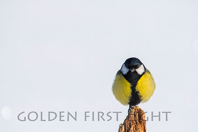 Great Tit, Oulu Finland