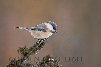 Gray-headed Chickadee, Ivalo Finland