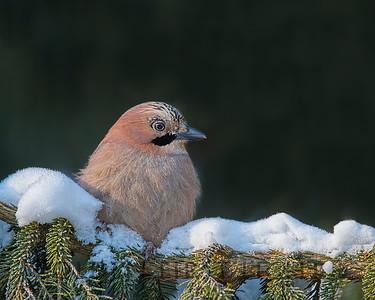 Eurasian Jay, Oulu Finland