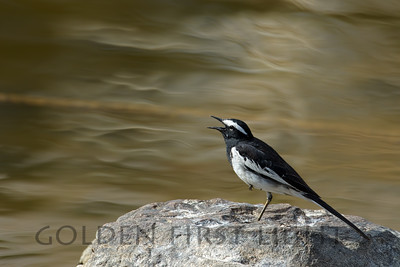 White-browed Wagtail, India