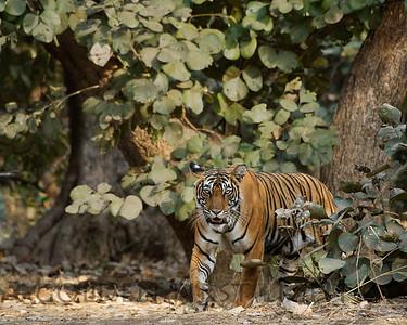 Royal Bengal Tiger, #39, Ranthambhore National Park, India