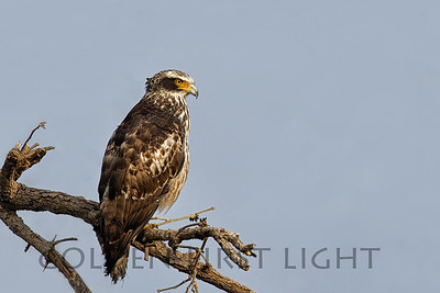 Crested Serpent Eagle, Ranthambhore National Park, India