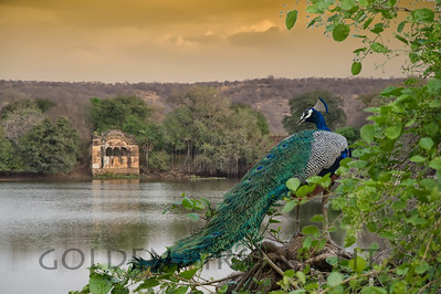 Indian Peafowl, India