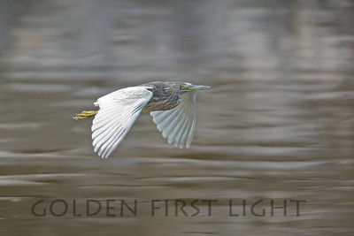 Indian Pond Heron, India