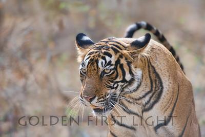 Royal Bengal Tiger, Ranthambhore National Park, India