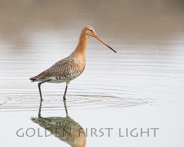 Black-tailed Godwit, India