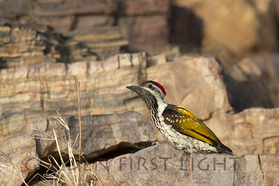Black-Rumped Flameback, India