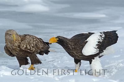 White-tailed Eagle and Steller's Sea Eagle, Japan