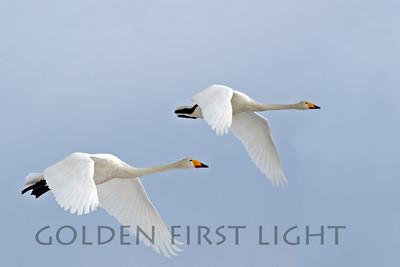 Whooper Swan, Japan