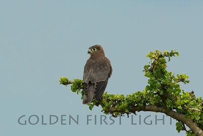 Grey Kestrel, Kenya