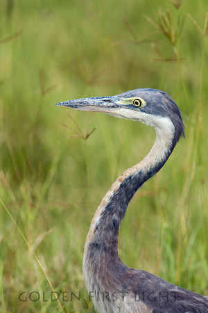 Black-headed Heron, Kenya