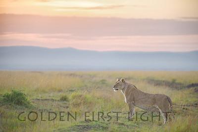 Lioness at Sunrise, Kenya