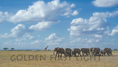 African Elephants, Amboseli Kenya