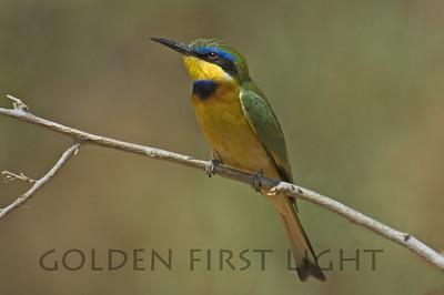 Little Bee-eater, Kenya