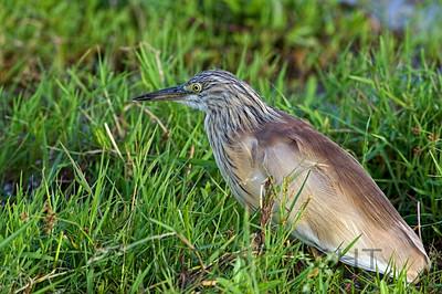Squacco Heron, Kenya