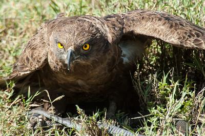 Brown Snake Eagle, Kenya