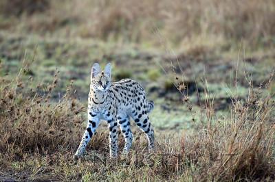 Serval, Kenya