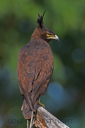 Long-crested Eagle, Kenya