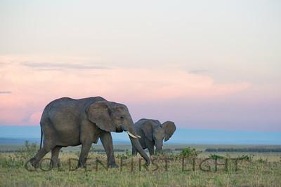 African Elephants at Sunrise, Kenya