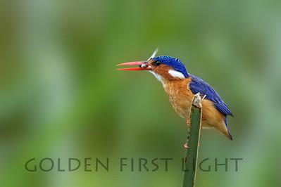 Malachite Kingfisher, Kenya