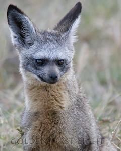 Bat Eared Fox, Kenya