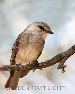 Grayish Flycatcher, Kenya