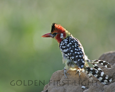 Red-and-Yellow Barbet, Kenya