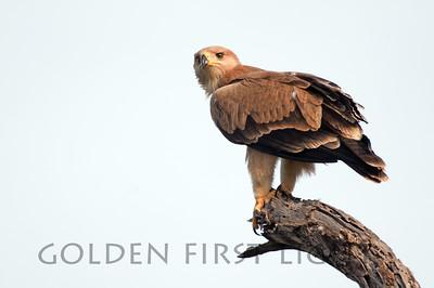 Tawny Eagle, Kenya