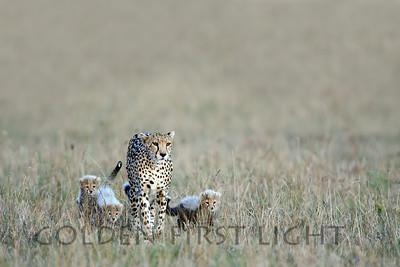 Cheetah with Cubs, Kenya