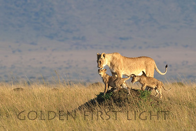 Lion and Cubs at Sunrise, Kenya