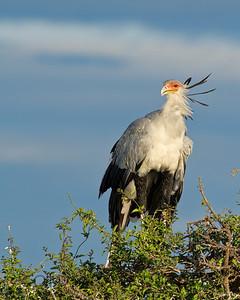 Secretary Bird, Kenya
