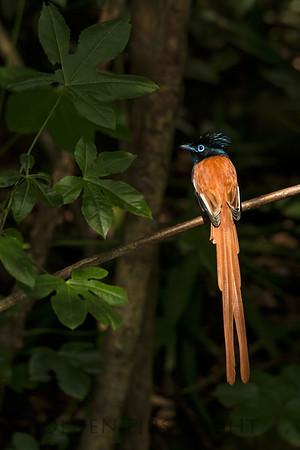 African Paradise Flycatcher, Kenya