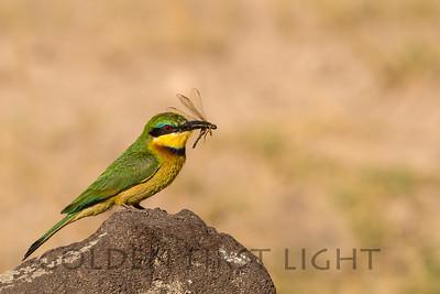Little Bee-eater, Amboseli Kenya