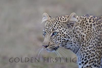 Leopard, one year old female named Bahati (Lucky One), Kenya