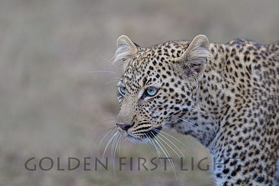 Leopard, one year old female named Bahati (Lucky One), Kenya