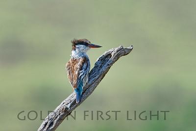 Striped Kingfisher, Kenya