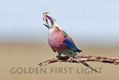 Lilac-breasted Roller, Kenya