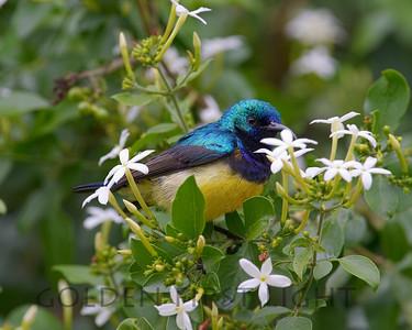 Variable Sunbird, Kenya